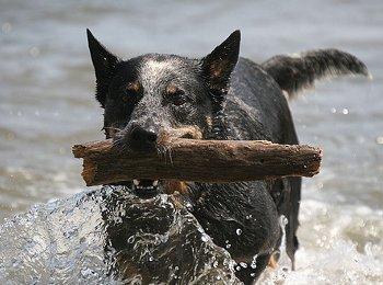 Dickste Hund Der Welt